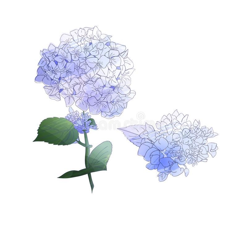 Watercolor style branch of hydrangea flowers. Set of Isolated florals object on white background. royalty free illustration