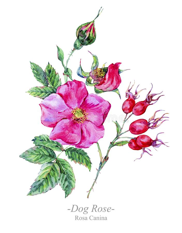 Watercolor summer medicinal flowers, Dog Rose plant stock illustration
