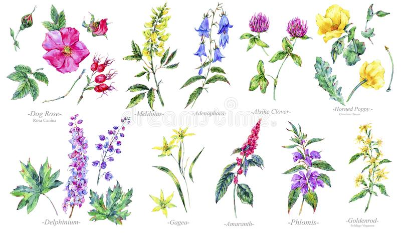 Watercolor summer set of medicinal flowers, Botany collection vector illustration
