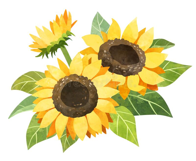 hand drawn sunflower clipart set design cuts