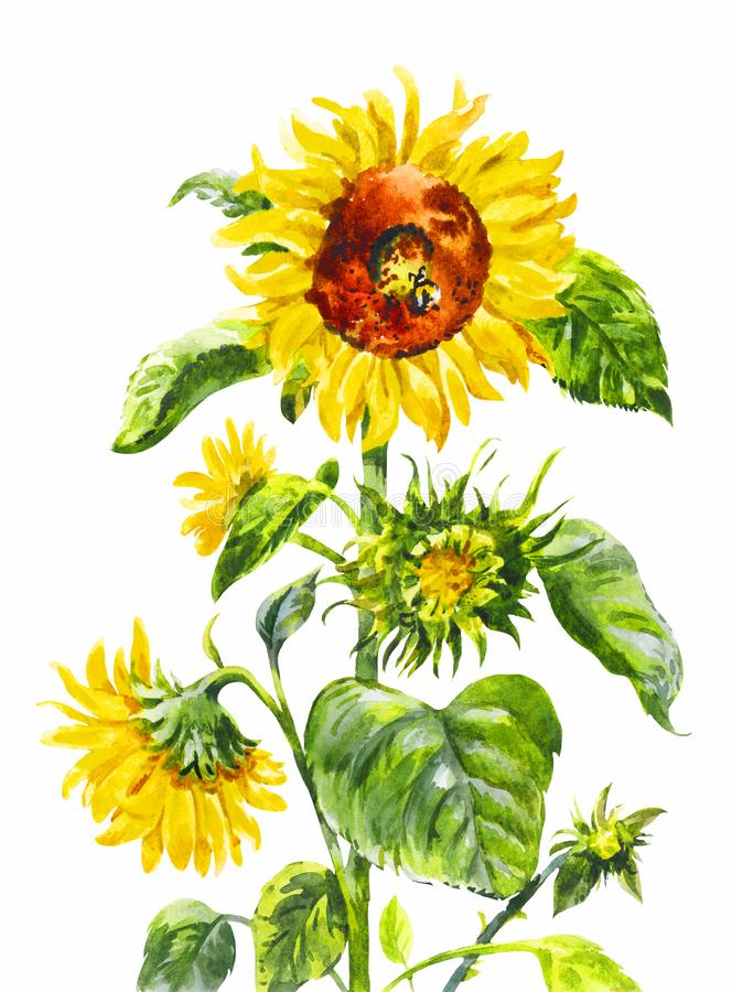 Watercolor sunflower. Vintage hand-drawn illustration isolated o. Watercolor sunflower. Vintage hand-drawn illustration of yellow flower isolated on white royalty free illustration