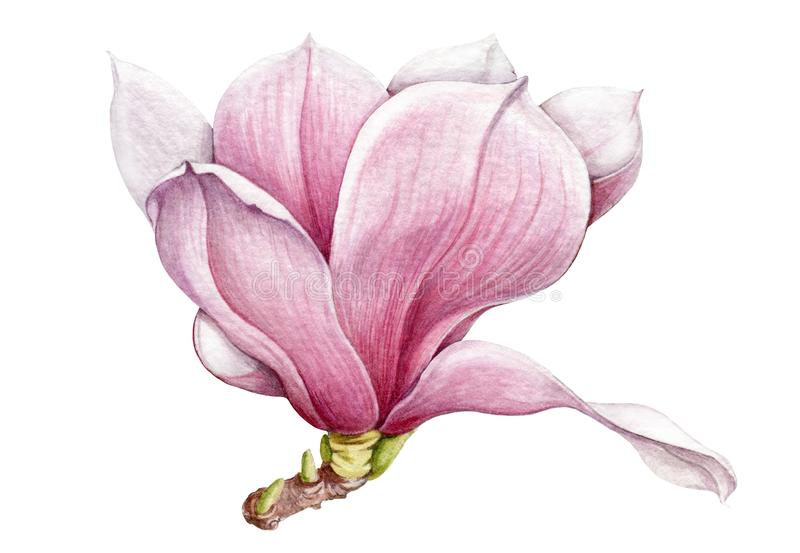 Watercolor tender pink magnolia flower with green buds illustration. Hand drawn lush spring blossom. Isolated on white background. stock illustration