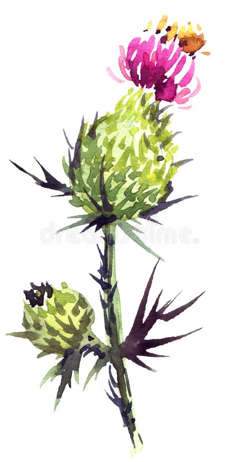 Watercolor thistle flower royalty free illustration