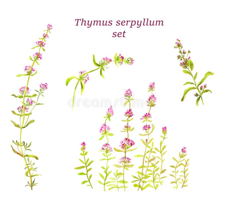 Watercolor thyme set. Herbal tea for health. Traditional medicin. Vector illustration. Thyme set. Watercolor botanical illustration.  Herbal tea for health vector illustration