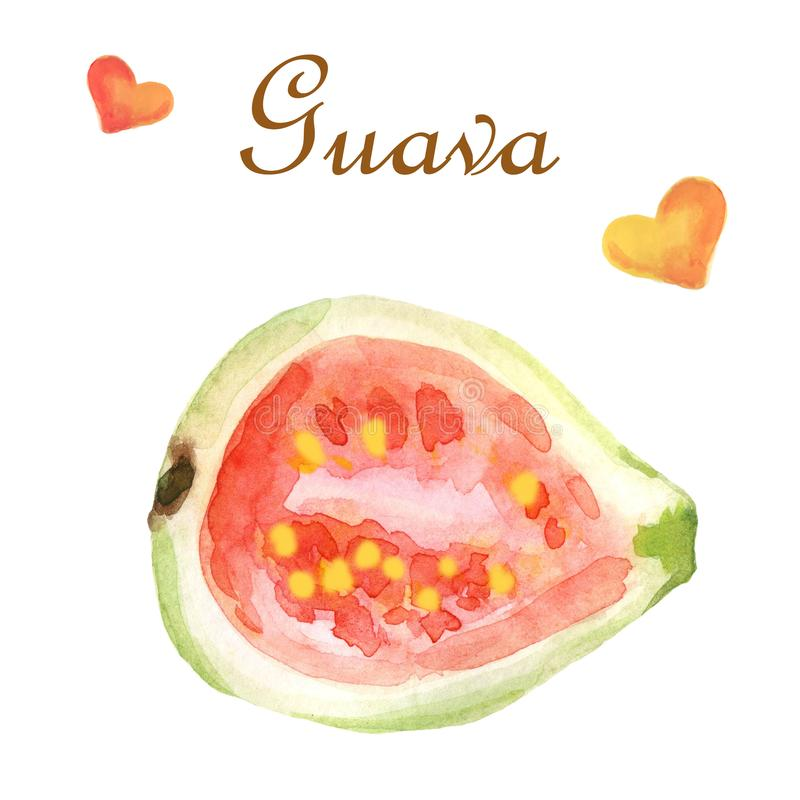 Watercolor tropical illustration with guava on a white background royalty free illustration