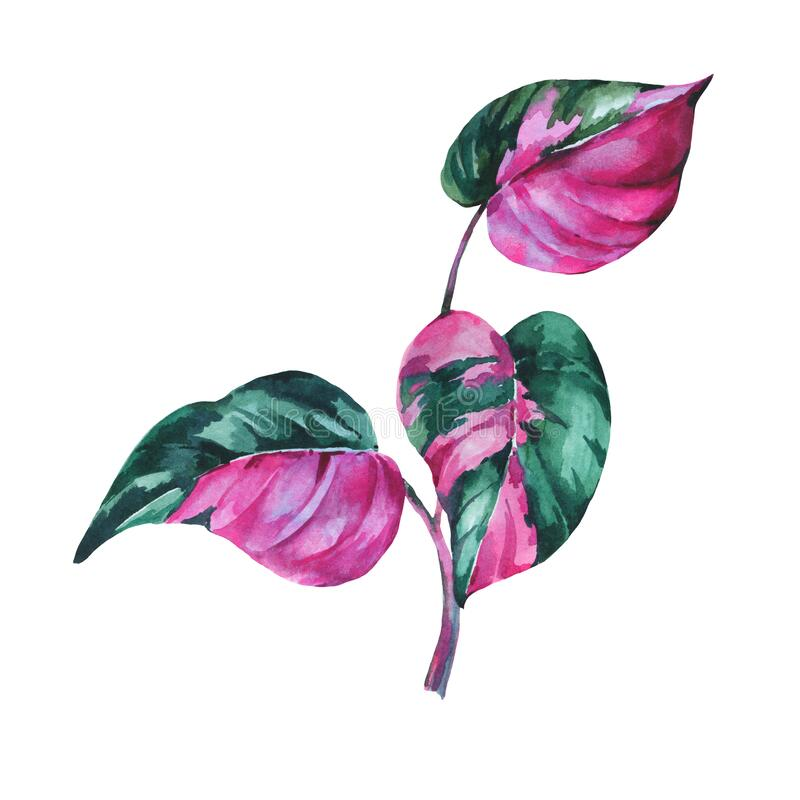Free Watercolor Tropical Leaves. Philodendron Pink Princess Botanical Illustration Royalty Free Stock Image - 190603296