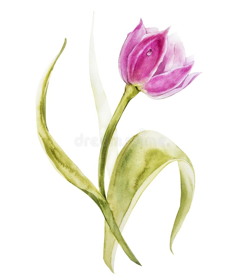 Watercolor tulips flowers. Spring or summer decoration floral botanical illustration. Watercolor isolated. Perfect for. Invitation, wedding or greeting cards royalty free illustration