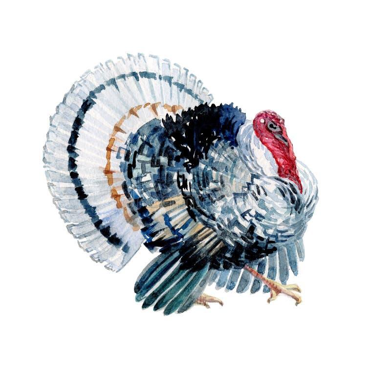 Watercolor turkey bird isolated vector illustration