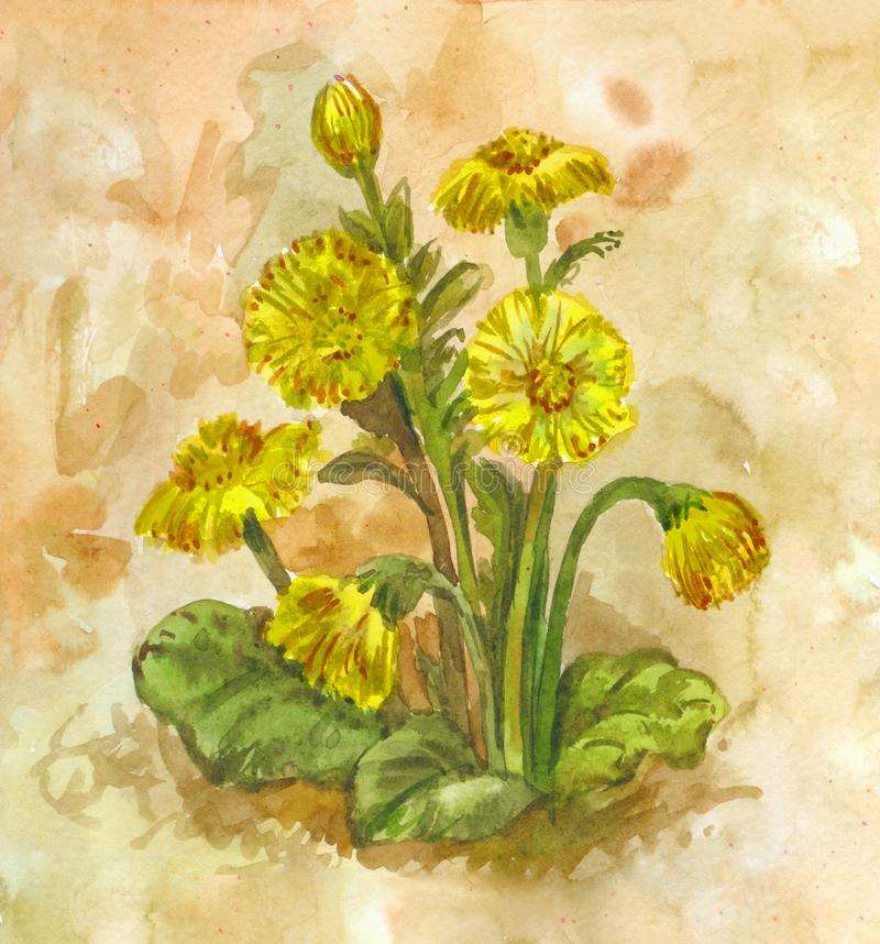 Watercolor tussilago. Yellow spring flowering herb. Medicinal plant. Yellow spring field flowers. Watercolor bush of tussilago farfara, hand-drawn background royalty free illustration