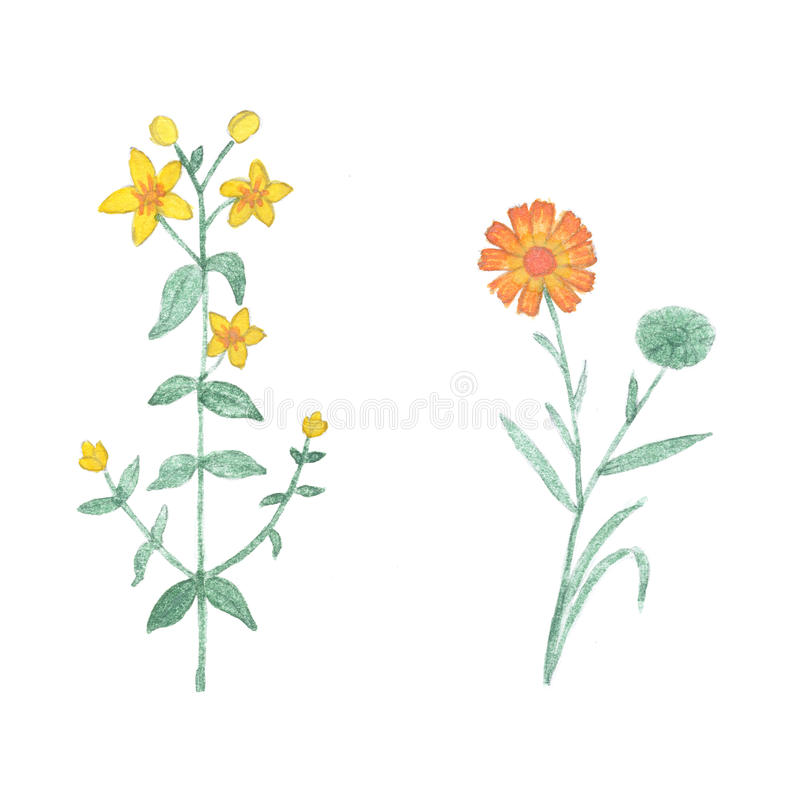 Watercolor tutsan and calendula isolated on white background. stock illustration