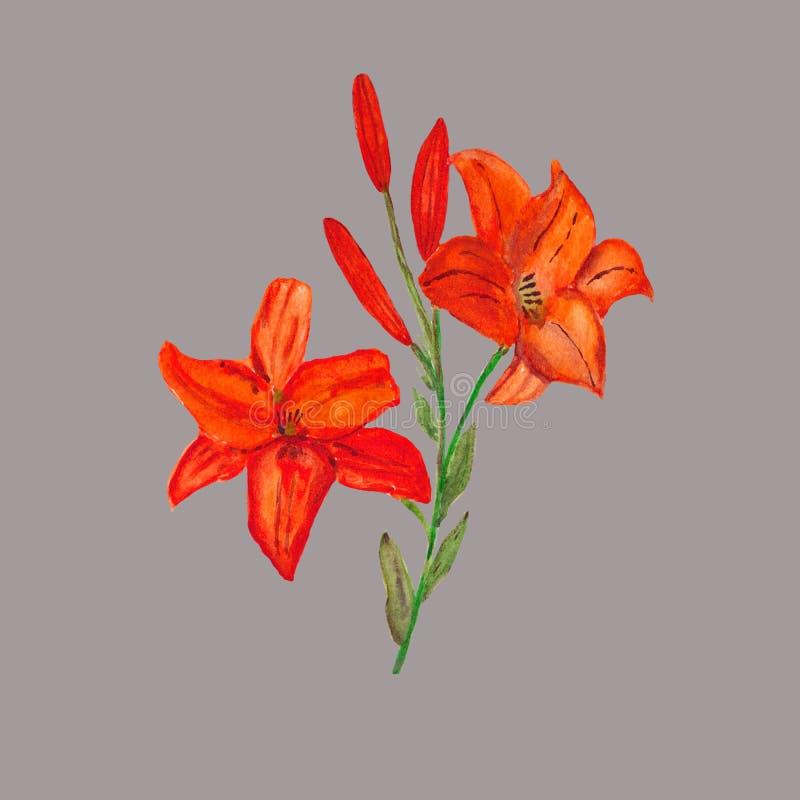 watercolor Un marco cuadrado de lirios rojos en un fondo gris fotografía de archivo libre de regalías