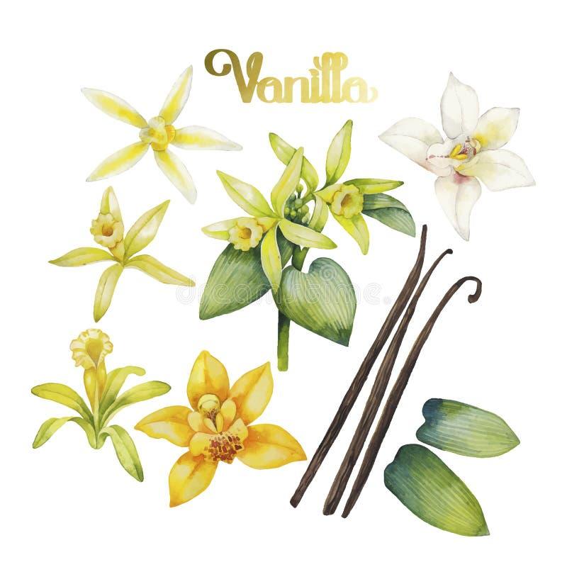 Watercolor vanilla flower stock illustration