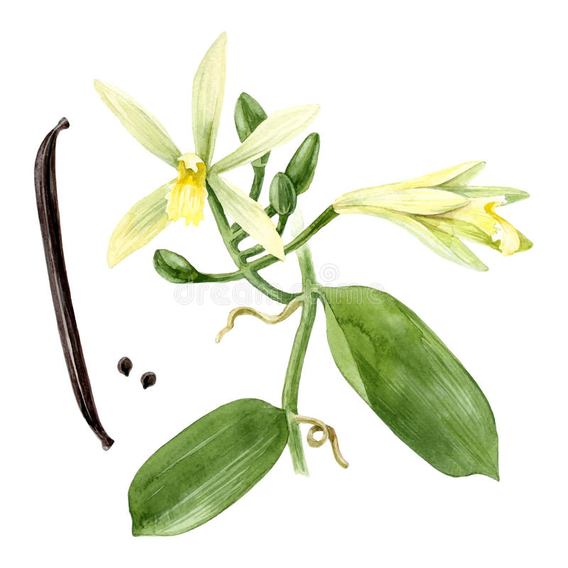 Watercolor vanilla plant vector illustration