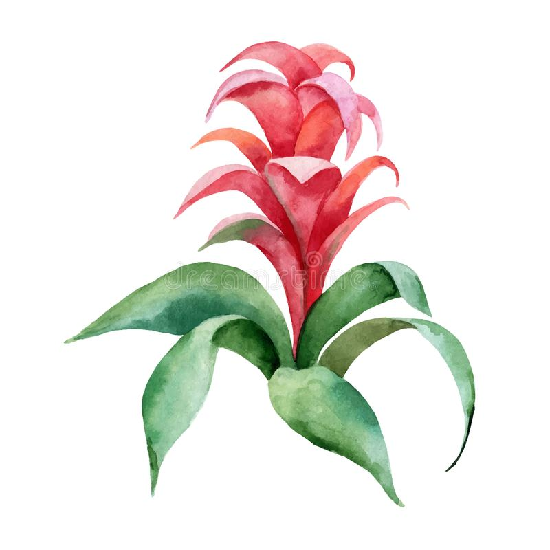 Watercolor vector hand painting illustration with Red Bromelia flower and green leaves. royalty free illustration
