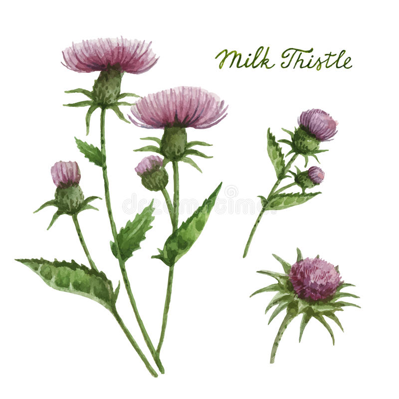 Watercolor vector illustration of milk Thistle. stock illustration