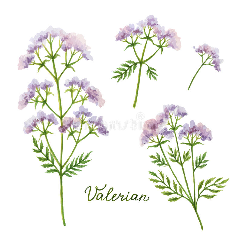 Watercolor vector illustration of Valerian. royalty free illustration