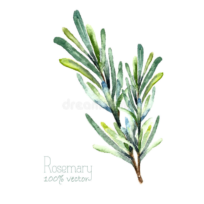 Watercolor vector rosemary stock images