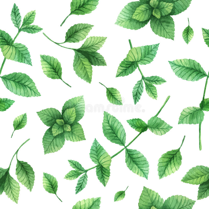 Watercolor vector seamless pattern hand drawn herb mint . Watercolor leaves and branches of mint on a white background. Herbs for packaging design, cards vector illustration