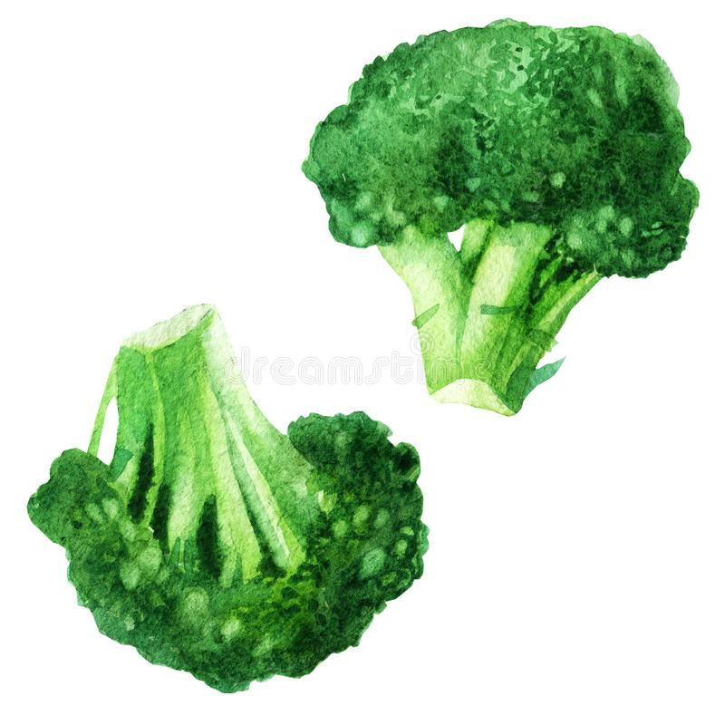 Watercolor vegetable broccoli isolated on a white background. Hand painting. royalty free illustration