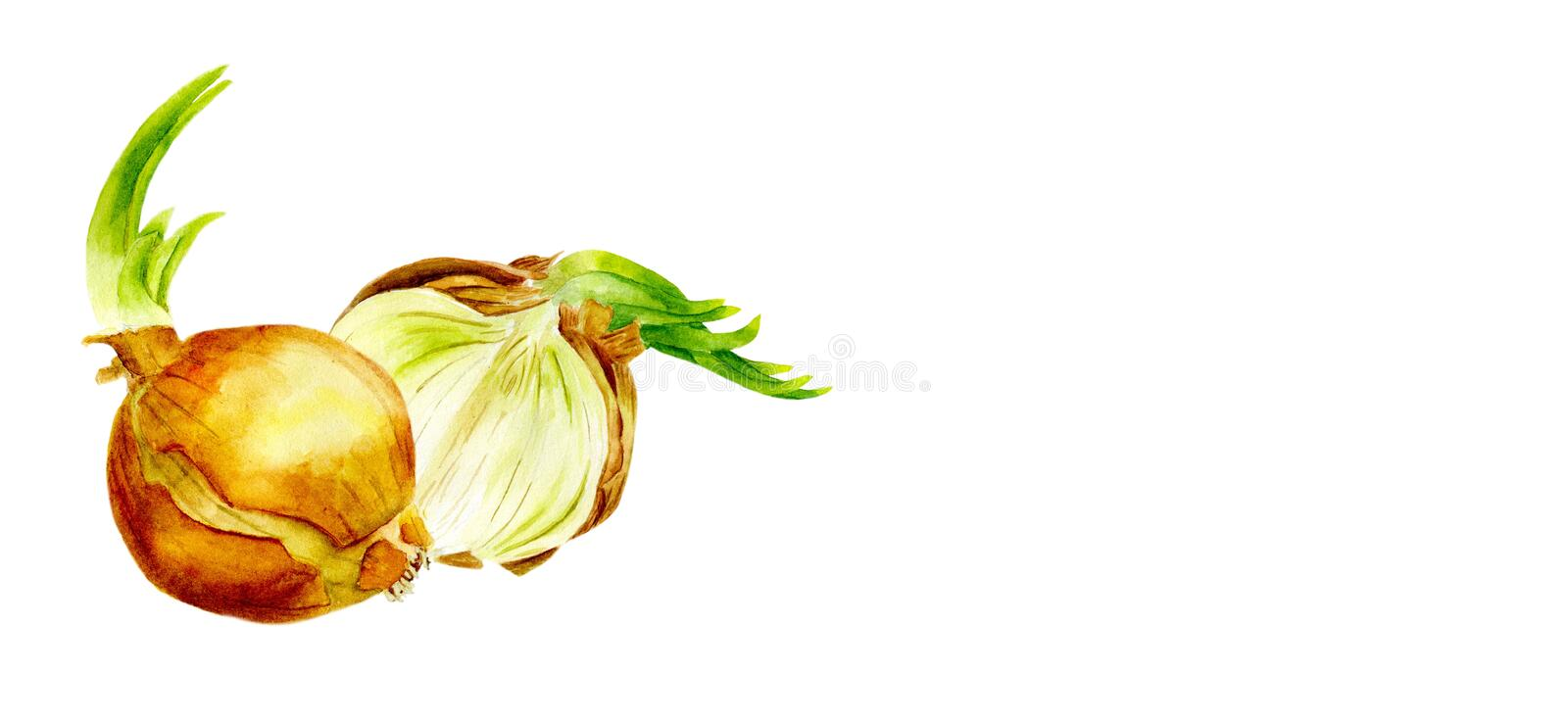 Watercolor vegetables. Set onions on a white background. Cut the onion. vector illustration
