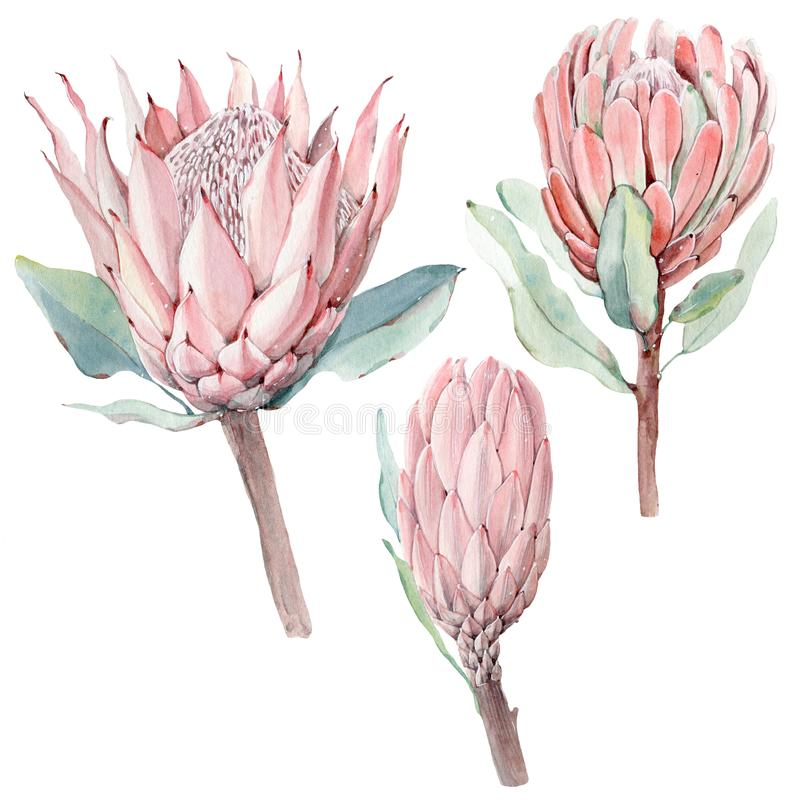 Free Watercolor Vintage Protea Flowers Set Stock Images - 100415144