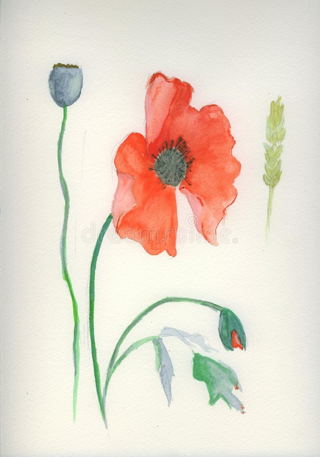 Watercolor (watercolour) painting of red poppy stock images