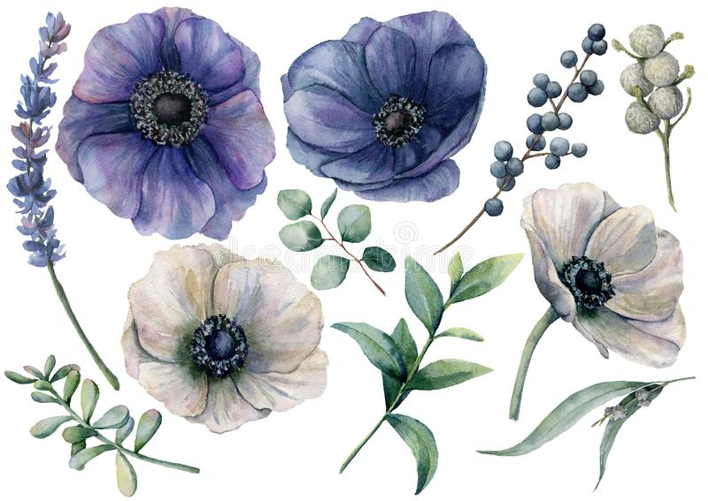 Watercolor white and blue floral set. Hand painted blue and white anemone, brunia berry, eucalyptus leaves, lavender. Succulent isolated on white background stock illustration