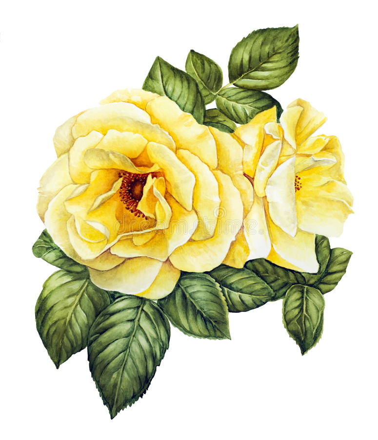 Watercolor with white roses. Isolated