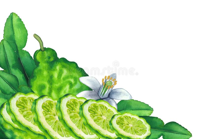 Watercolor whole and sliced bergamot fruits, leaves and flower stock images
