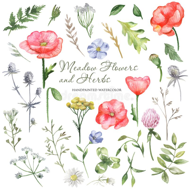 Watercolor wildflowers, meadow flowers, herbs, plants. Flower botanical set on a white background. royalty free illustration