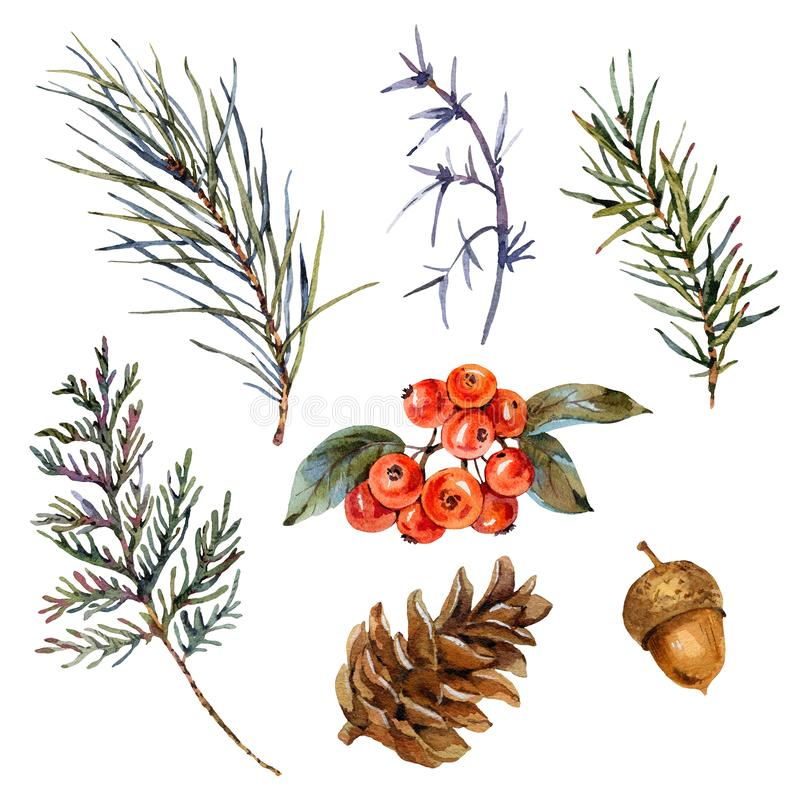Watercolor winter set of spruce branches, pine cones, acorn, red berries. Natural collection stock illustration