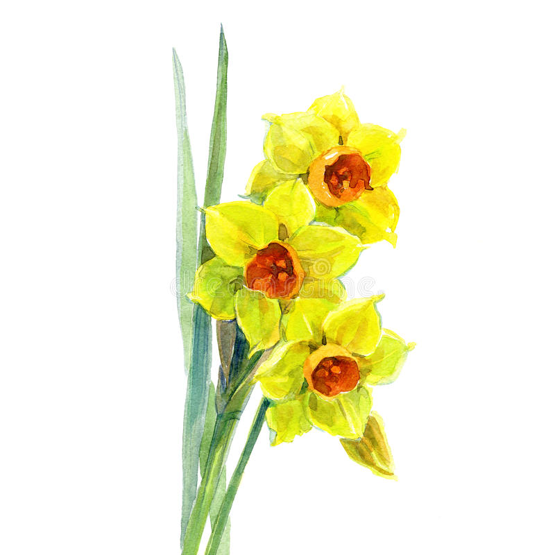 Watercolor yellow narcissus bouquet royalty free illustration