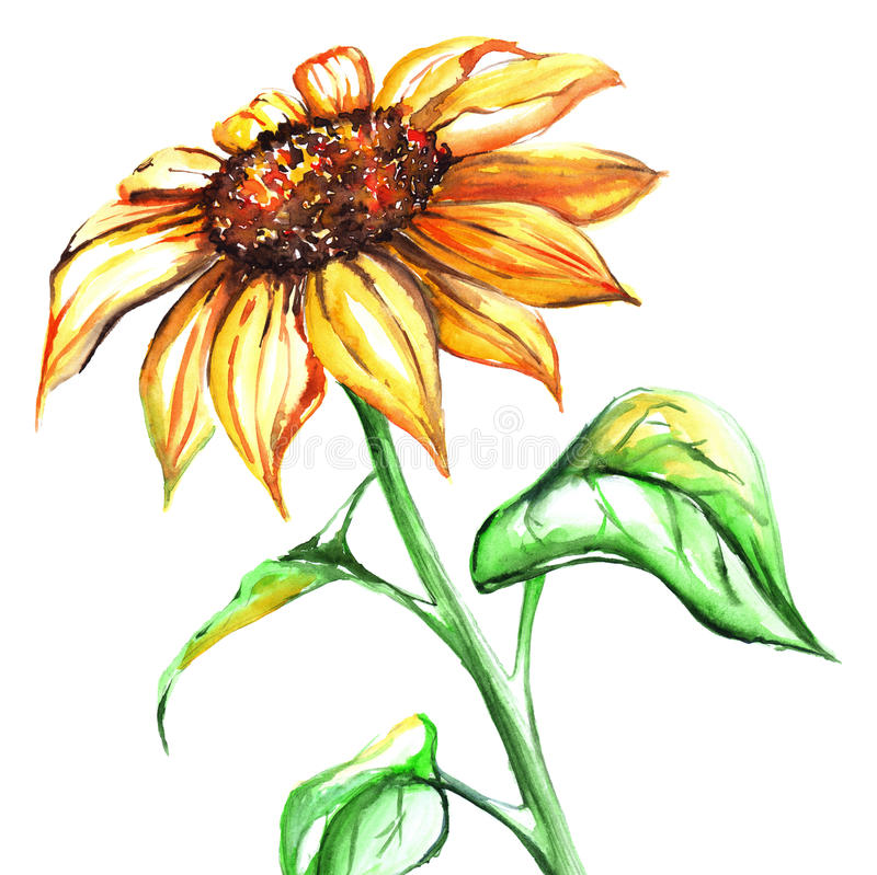 Watercolor yellow sun sunflower flower single royalty free illustration