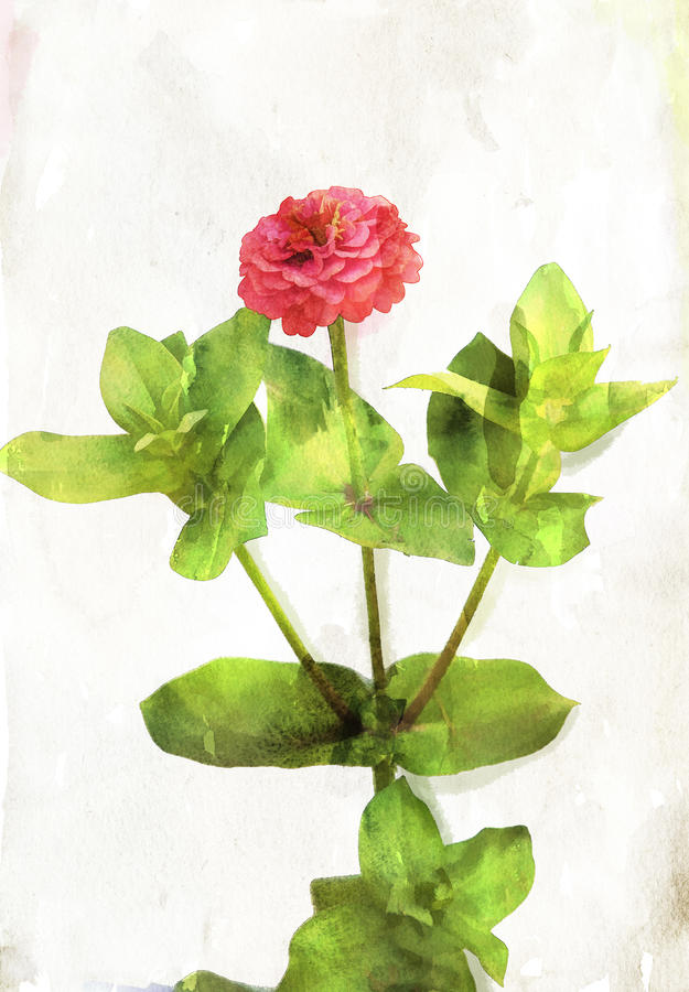 Download Watercolored Coral Red Zinnia Stock Illustration - Illustration: 26948959