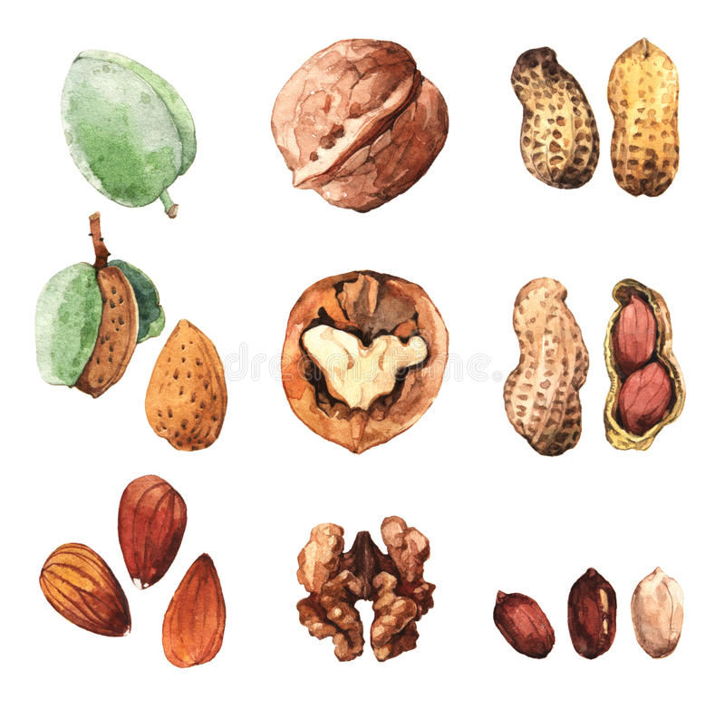 Watercolour clip art illustrations of culinary nuts stock illustration