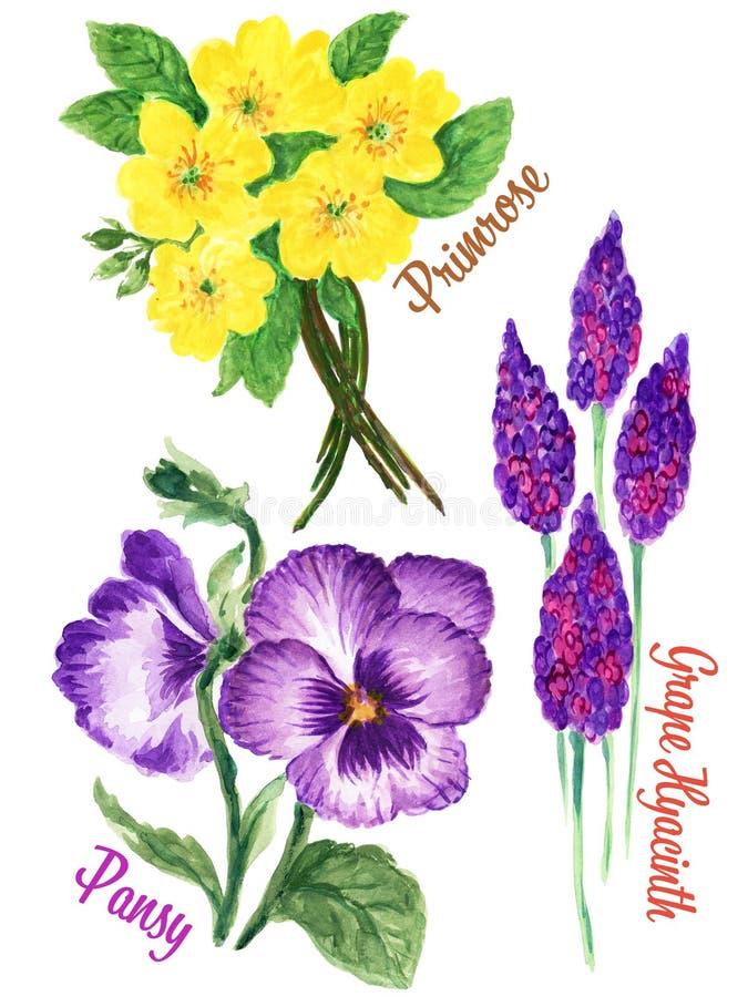 Watercolour-Gouachehandgezogene Frühling und Sommerprimel Stiefmütterchen-und Trauben-Hyacinth Flower-Illustration lizenzfreie abbildung