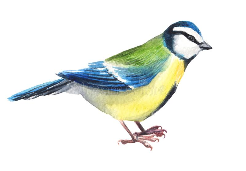 Watercolour hand painted bird titmouse. Bright tit illustration isolated element on white background. Black yellow, brown colours feather. Nice design and royalty free illustration