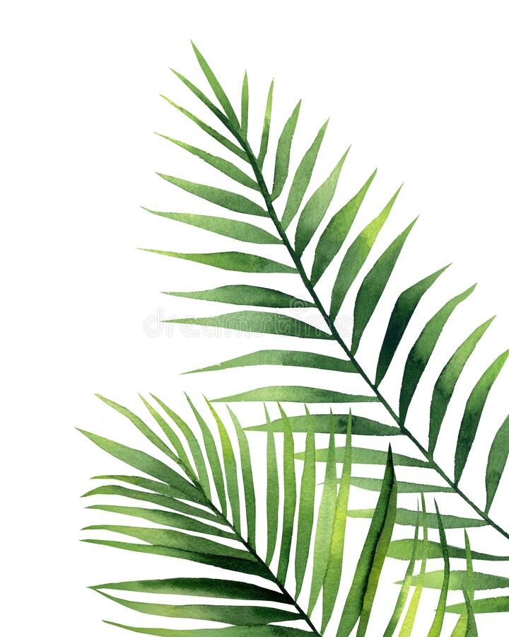 Watercolour palm fronds. Botanical illustration on white background. Green tropical leaves. Exotic palm fronds. Watercolour illustration on white background stock photo