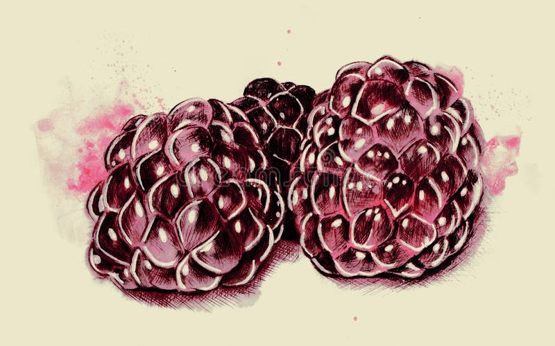 Watercolour And Pen Illustration Of Ripe Raspberries stock images