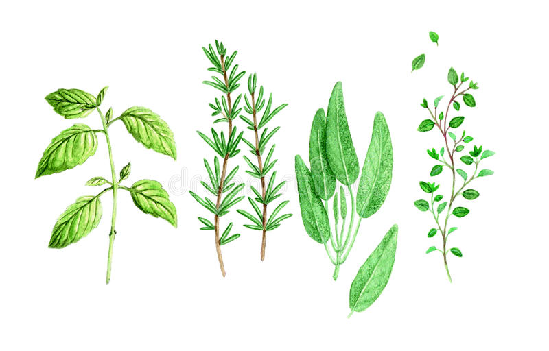 Watercolour Spicy Herbs. Watercolour drawing of spicy provencal herbs royalty free illustration
