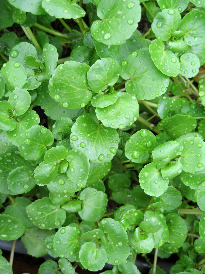 Watercress. The watercress is a perennial aquatic plant cultivated for human consumption stock photo
