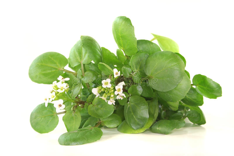 Watercress. A sprig of fresh watercress on white background stock photography