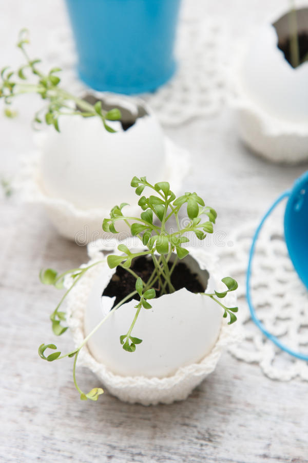 Watercress. Grows in the egg stock image