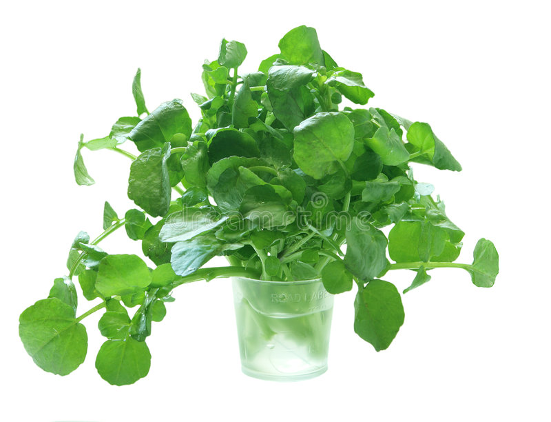 Watercress. In a medicine measuring cup, isolated stock images
