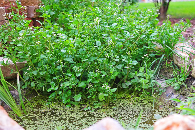 Watercress in the garden pond. Group of watercress in a spice spiral royalty free stock image