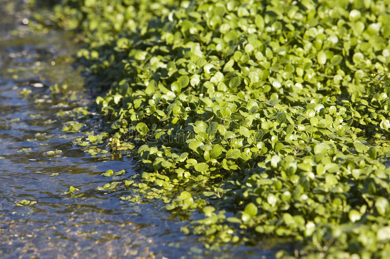 Download Watercress Growing In Bed Stock Image - Image: 7518781
