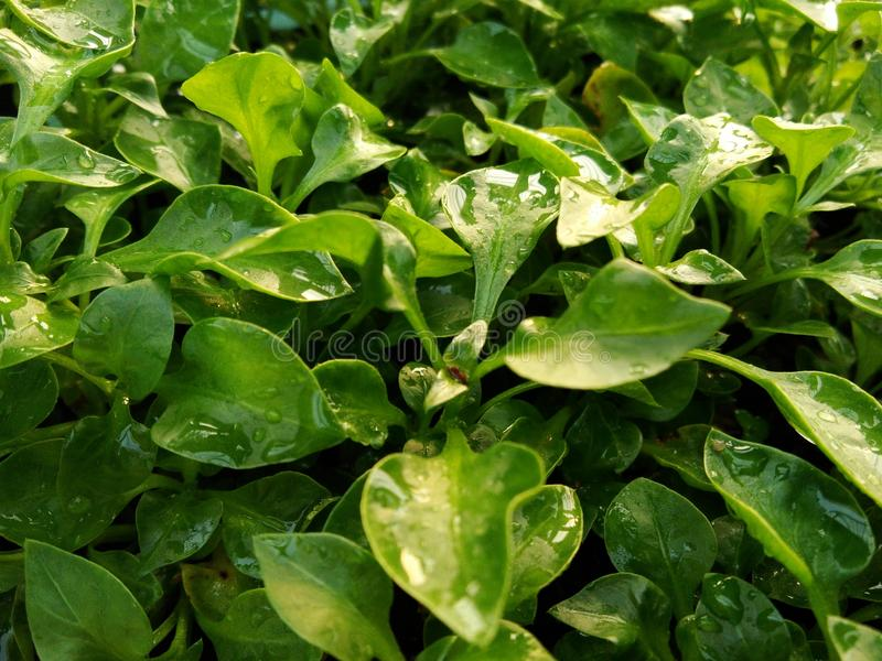 Watercress. Is growing easily, is a healthy vegetables for cooking in many type of foods. It is not a big tree, you can grow in the pot in your garden stock image
