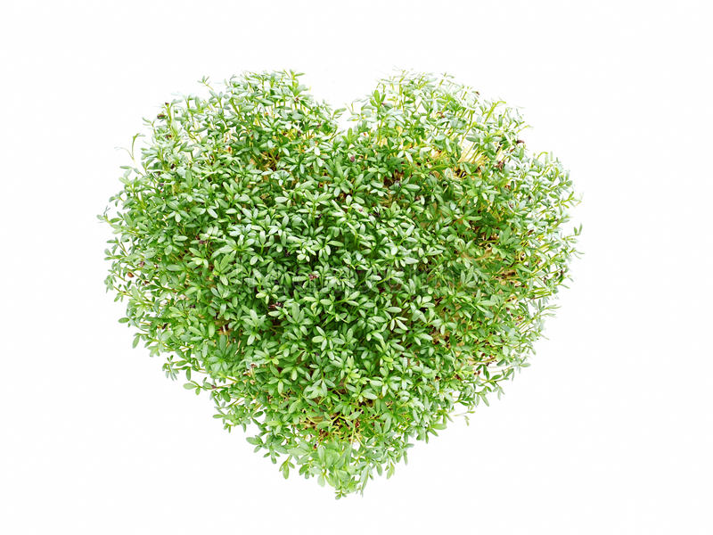 Watercress heart. Heart shaped from watercress plant on white royalty free stock image