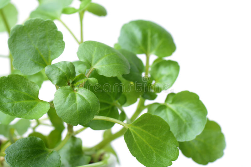 Watercress isolated on white. Background stock photography