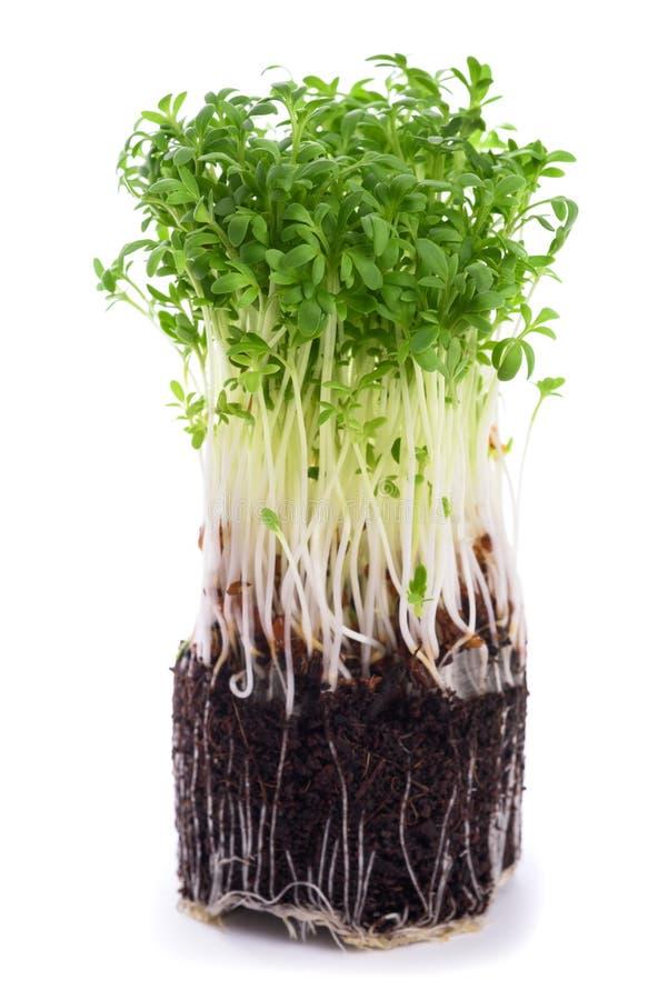 Watercress Lepidium sativum stock photo